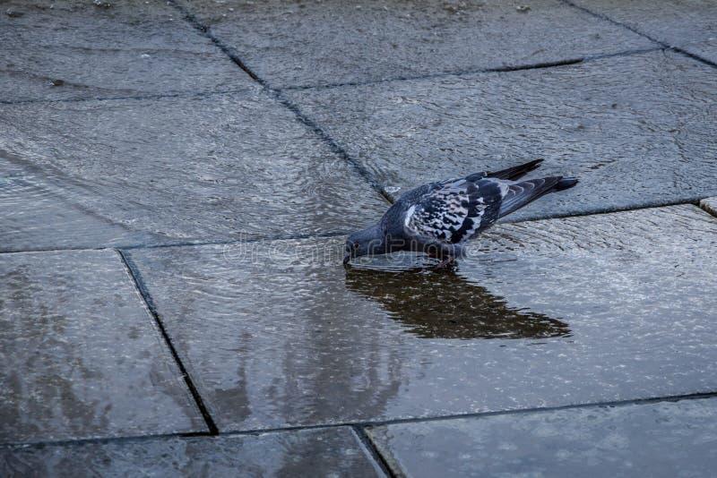 Una vista alta vicina di una condizione grigia del piccione sull'acqua della fontana immagini stock