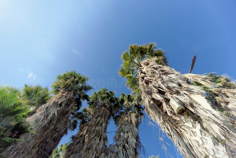 Una vista de los tops de palmeras bajo la forma de cielo despejado azul fotografía de archivo
