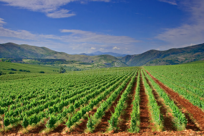 Una vista de un campo del viñedo en Macedonia fotos de archivo libres de regalías
