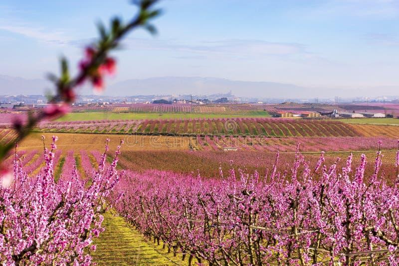 Una vista del La Sur Vella de Lérida en el fondo, con filas del árbol de melocotón en la floración, con las flores rosadas en el  imagen de archivo libre de regalías