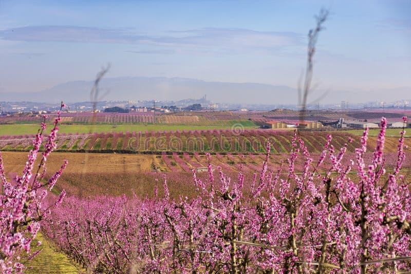 Una vista del La Sur Vella de Lérida en el fondo, con filas del árbol de melocotón en la floración, con las flores rosadas en el  foto de archivo