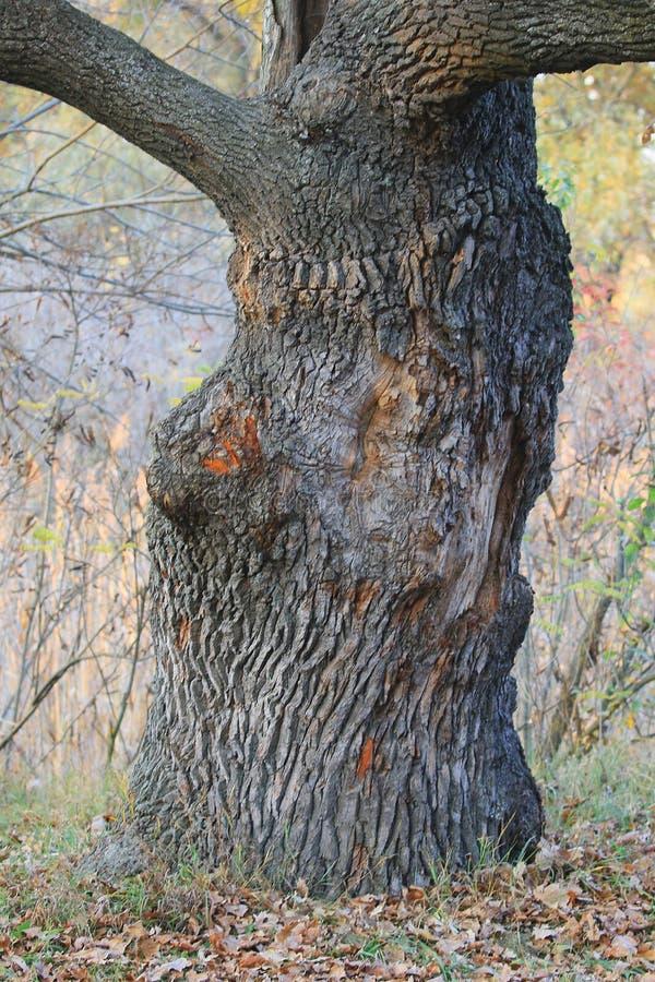 Una vista del tronco de roble en un bosque del otoño foto de archivo