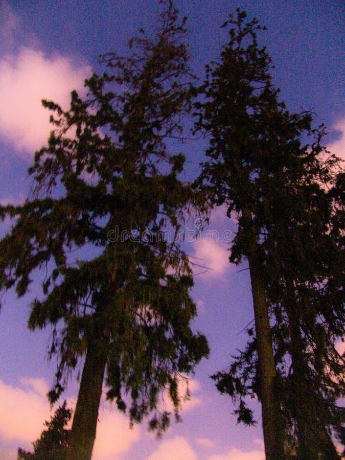 Una vista di angolo basso di due alberi alti e dei cieli nuvolosi variopinti a penombra fotografia stock