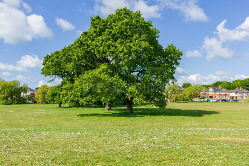 Una vista di bei castagni europei in un parco con erba intorno loro sotto un cielo blu maestoso fotografia stock