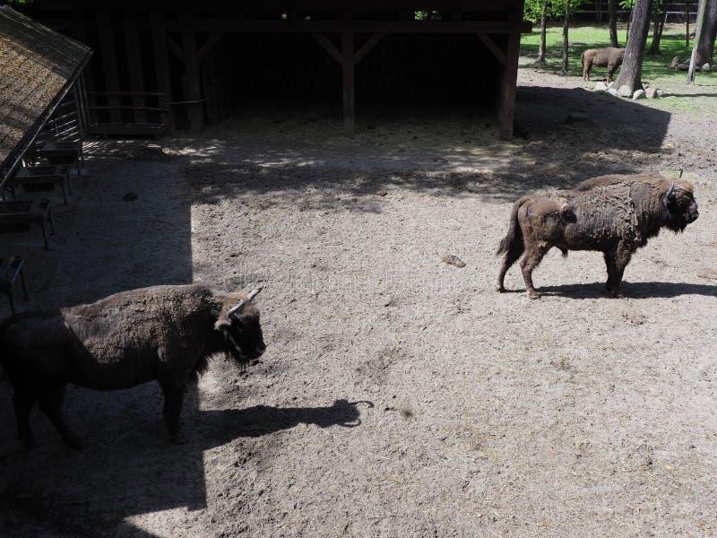Una vista di due forti bisonti europei sta su terra sabbiosa nella recinzione alla città di Pszczyna in Polonia immagine stock