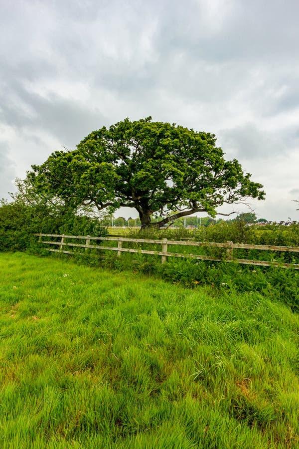 Una vista di un albero maestoso lungo un recinto di legno con erba e vegetazione verde sotto un cielo nuvoloso bianco fotografia stock