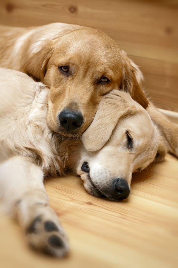 Una vista di una menzogne dei due cani fotografia stock libera da diritti