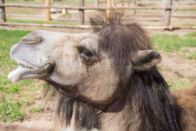 Una vista frontale della terra di seduta del cammello humped due fotografia stock