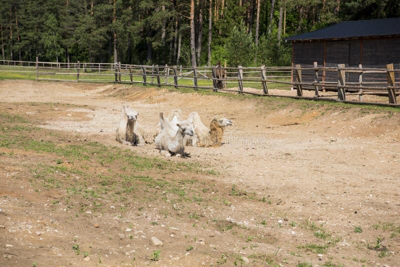 Una vista frontale della terra di seduta del cammello humped due immagine stock libera da diritti