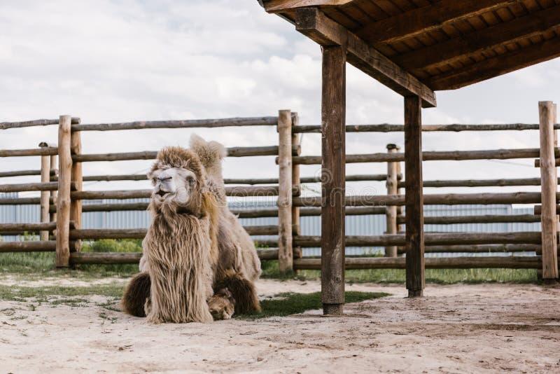 una vista frontale di due humped il cammello che si siede sulla terra davanti a di legno recinta il recinto per bestiame fotografia stock