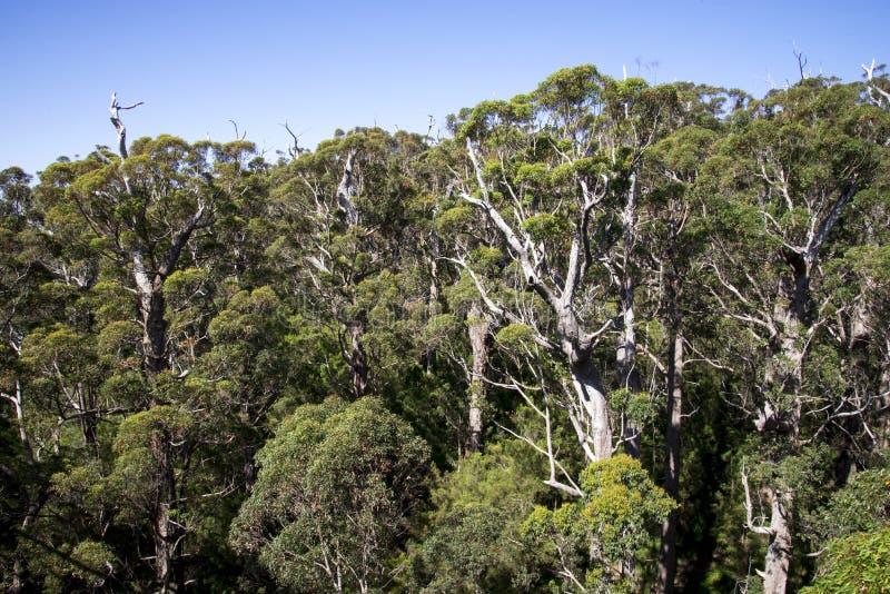 Una vista gigante della foresta di formicolio da un ponte della passeggiata della cima dell'albero fotografie stock libere da diritti