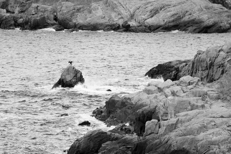 Una vista grafica di Cormorant incappucciato su una roccia in Mar Nero fotografia stock libera da diritti