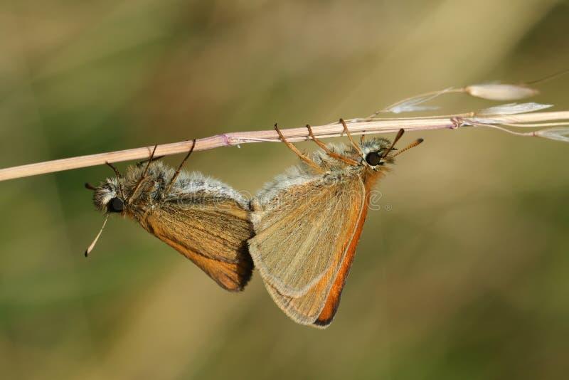 Una vista lateral de un par de acoplamiento de Essex Skipper el lineola de Thymelicus de la mariposa encaramado en un tronco de l foto de archivo libre de regalías