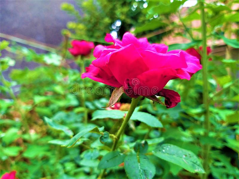 Una vista laterale di belle rosa rossa & foglie verdi fotografia stock libera da diritti