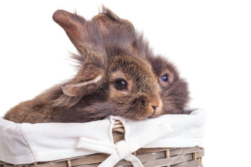 Una vista laterale di due bunnys capi del coniglio del leone immagine stock
