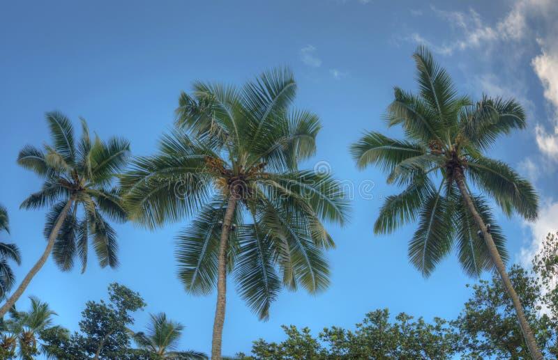Una vista piacevole di tre palme contro un chiaro cielo blu Oceano Indiano, isola di Mae, Seychelles fotografia stock libera da diritti