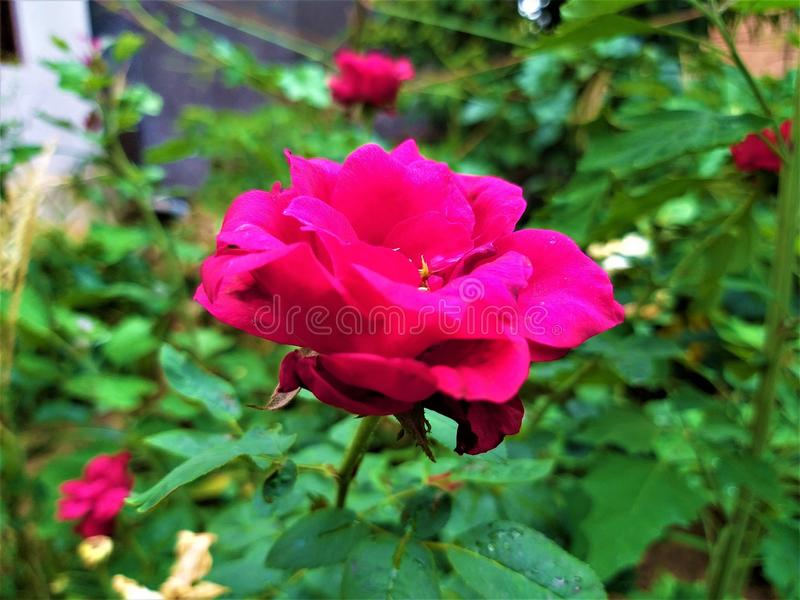 Una vista vicina di belle rosa rossa & foglie verdi fotografia stock libera da diritti