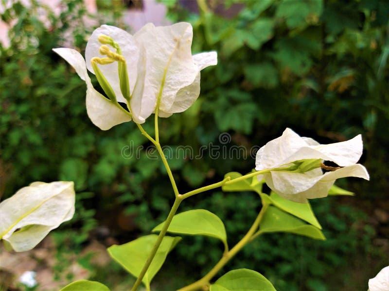Una vista vicina di bello fiore bianco & delle foglie verdastre immagini stock