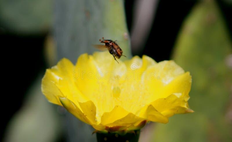 Una vita degli insetti con una Rosa gialla del Texas fotografia stock libera da diritti