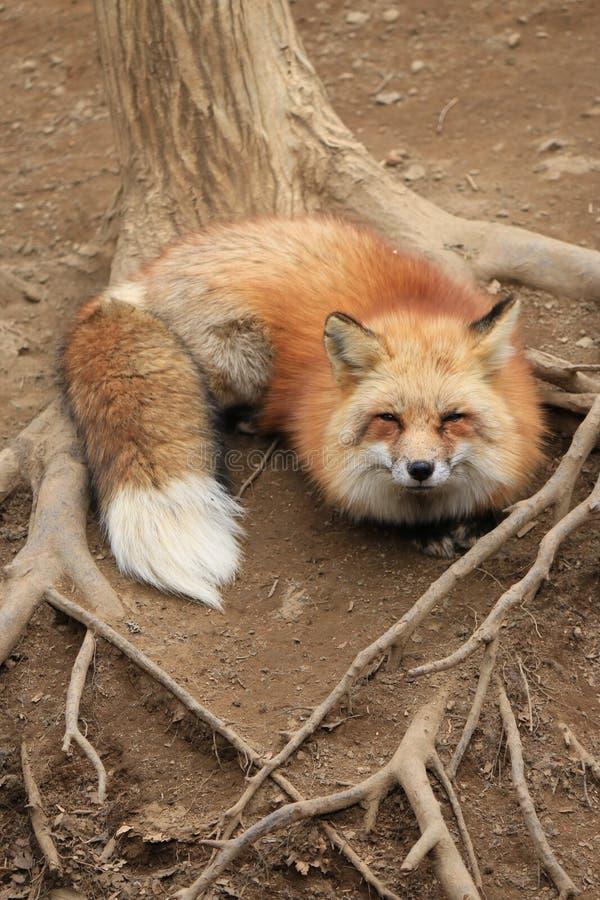 Una volpe rossa al Giappone fotografia stock libera da diritti