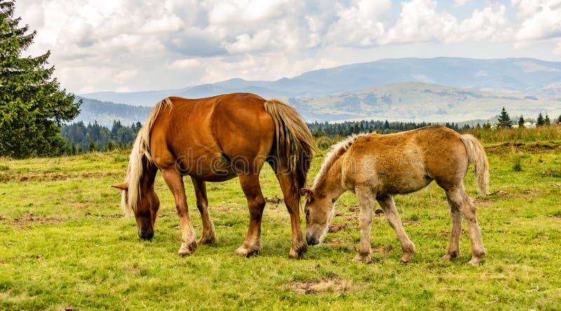 Una yegua y un potro que pastan en un prado imagen de archivo libre de regalías