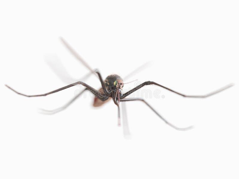 Una zanzara immagini stock libere da diritti