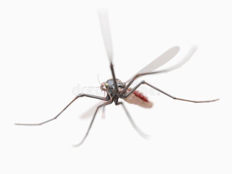 Una zanzara immagine stock