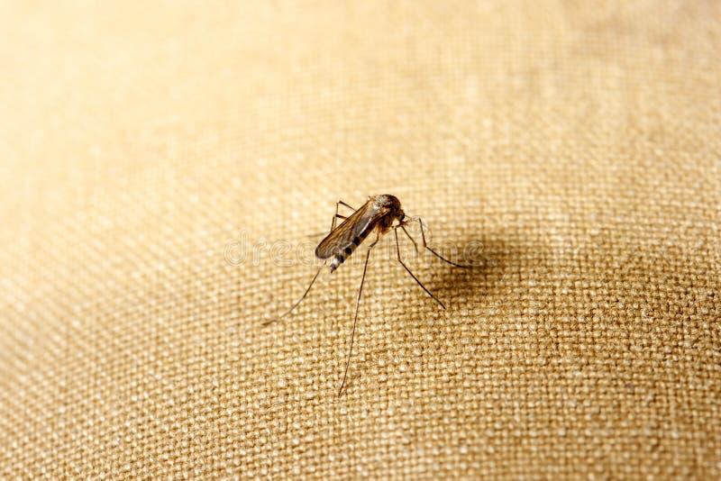 Una zanzara si siede sui vestiti La zanzara vuole succhiare il sangue fotografia stock libera da diritti
