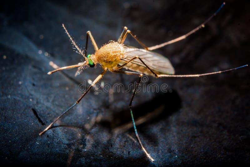 Una zanzara sulla superficie dell'acqua fotografia stock libera da diritti