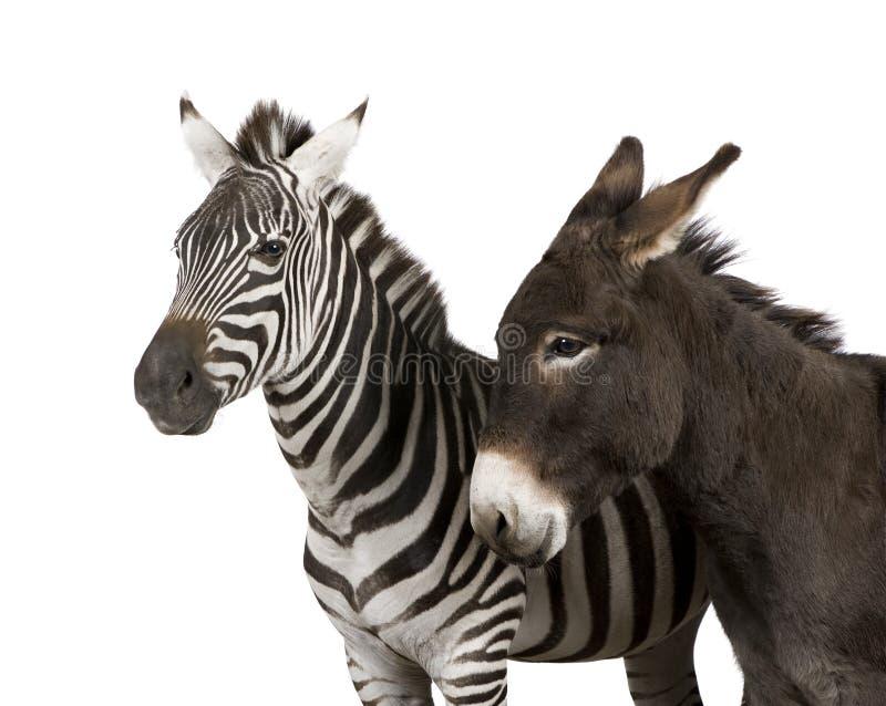 Una zebra (4 anni) e un asino (4 anni) immagini stock