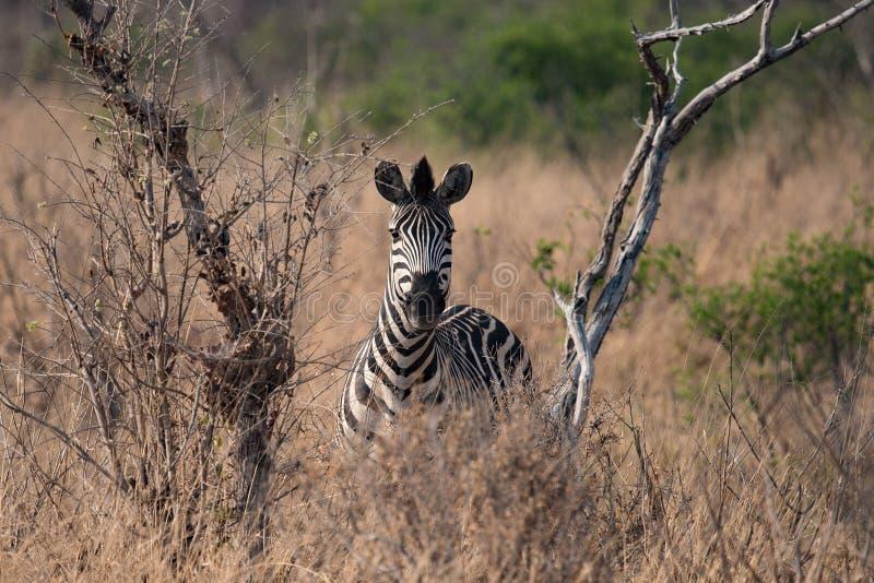 Una zebra arrabbiata che esamina l'automobile di safari fotografia stock