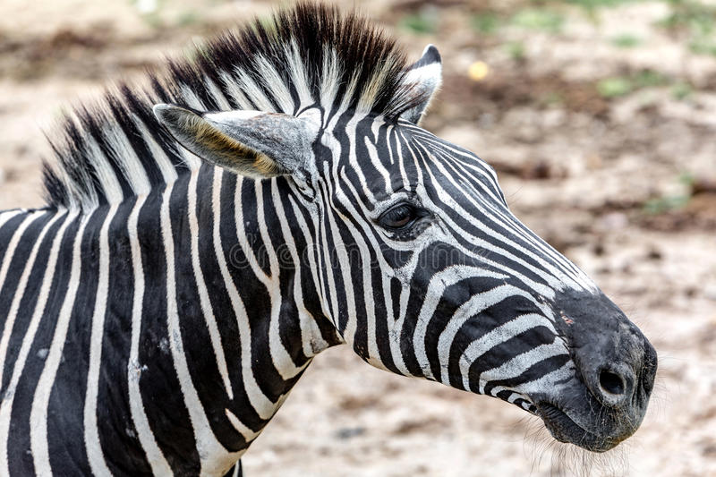 Una zebra Live In The Open Zoo immagine stock