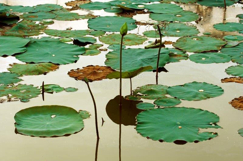 Una zona dell'acqua e del loto lilly immagini stock libere da diritti