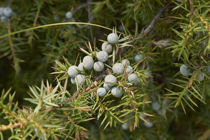 Unausgereifte Beeren von Juniperus communis stockfotos