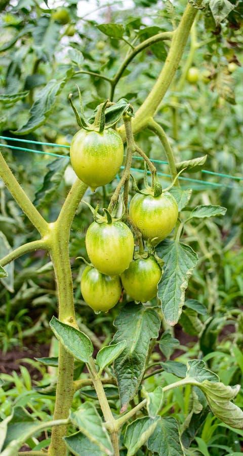 Unausgereifte grüne Tomate lizenzfreie stockfotografie