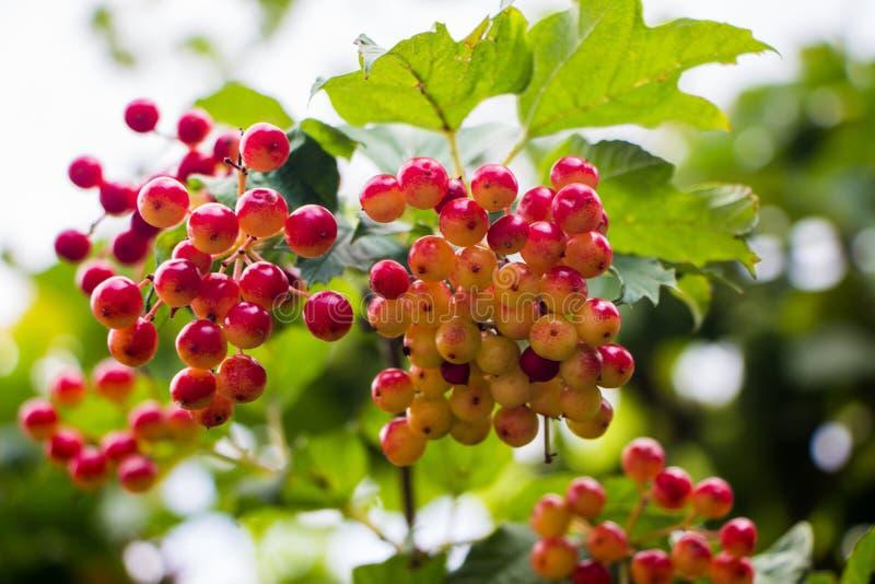 Unausgereifte Viburnumfrucht stockfotos