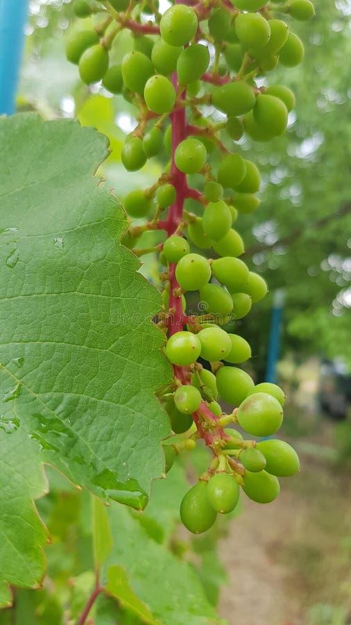 Unausgereiftes Bündel grüne Trauben auf roten Stämmen und nass grünem Weinstockblatt lizenzfreies stockfoto