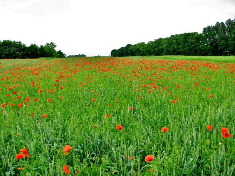 Unbegrenztes Feld von roten Mohnblumen, sehr schöne Ansicht stockbilder