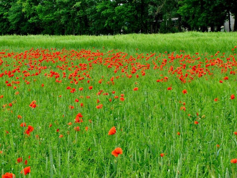 Unbegrenztes Feld von roten Mohnblumen, sehr schöne Ansicht lizenzfreie stockfotos