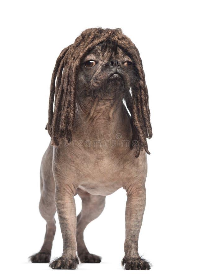 Unbehaarter Misch-Zucht Hund, Mischung zwischen einer französischen Bulldogge und einem chinesischen Hund mit Haube, stehend lizenzfreie stockbilder