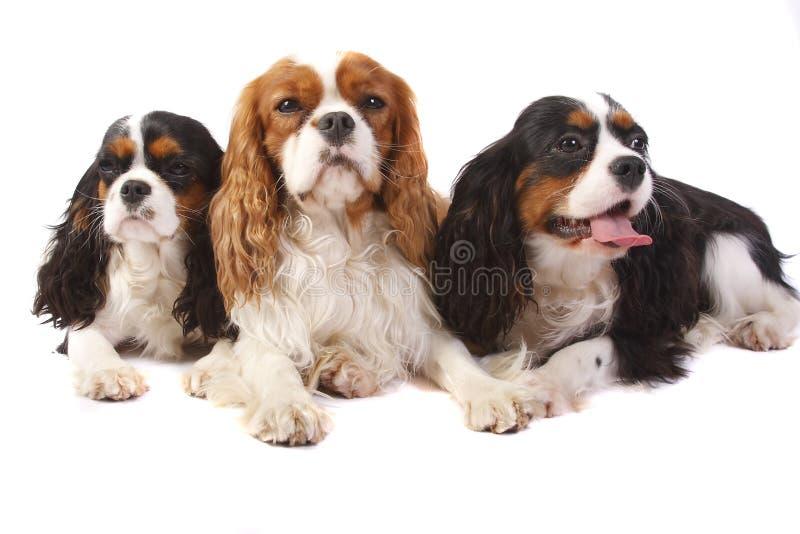 Unbekümmerter König Charles mit drei Hundebruten Spaniel stockfotos