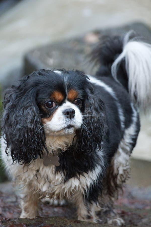 Unbekümmerter König Charles Spaniel Dog Active stockfoto