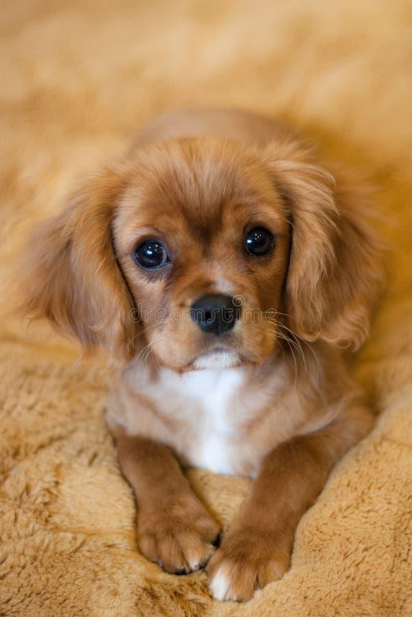 Unbekümmerter König Charles Spaniel Puppy lizenzfreie stockbilder