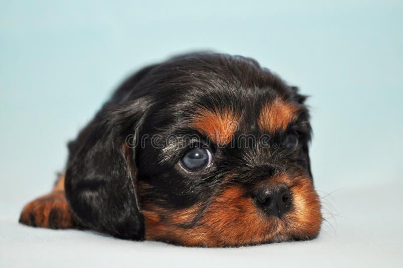 Unbekümmerter König Dog Charles Puppy Cocker lizenzfreie stockfotos