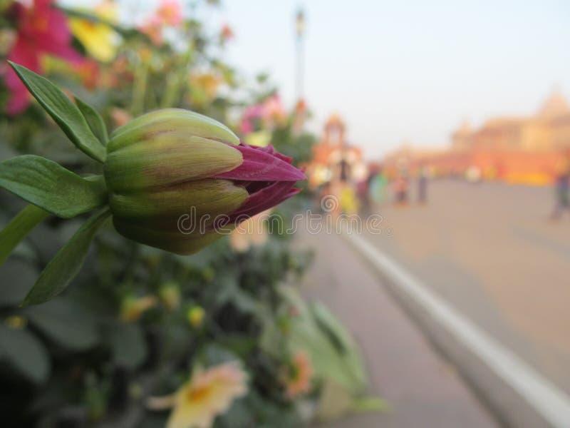 Unbloomed kwiat zdjęcia royalty free