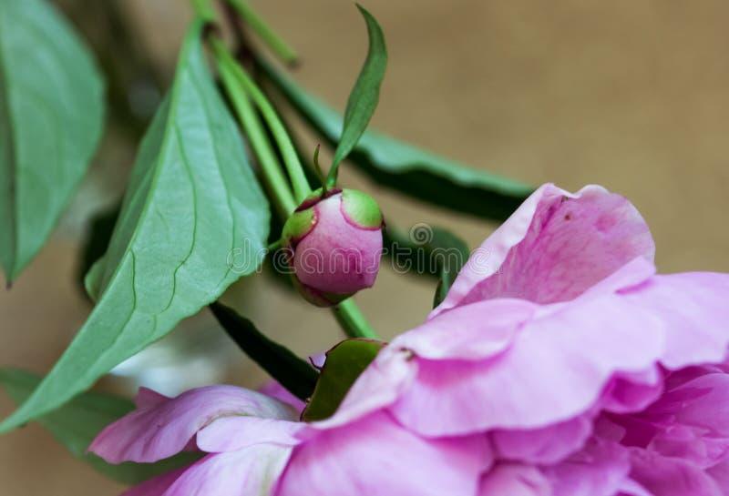 Unblown kwiat peonia Różowy Pączek Makro- obrazy stock