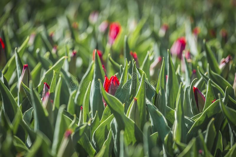 Unblown Red tulips flower bed in the park. unblown Red tulip field, spring background in red color royalty free stock photography