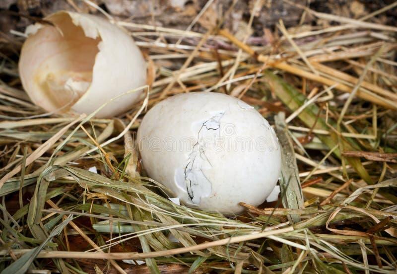 Unborn duck royalty free stock photos