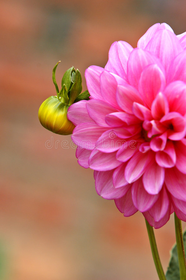 Unborn Flower stock photography