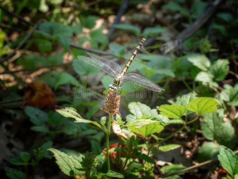 Uncatus di Onychogomphus aka il grande pincertail o la libellula gancio-munita favorita immagini stock libere da diritti